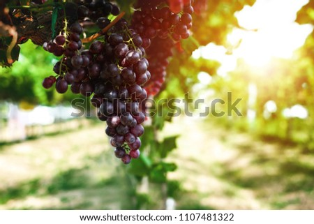Ripe grapes hung on vineyards of grape trees. In the morning vineyard. #1107481322