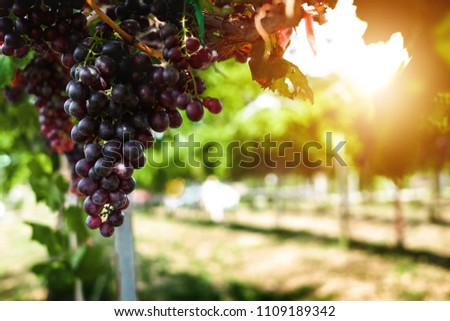 Ripe grapes hung on vineyards of grape trees. In the morning vineyard. #1109189342