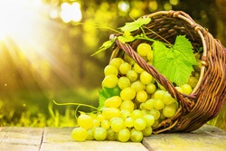 Ripe grapes in wicker basket on sunny background
