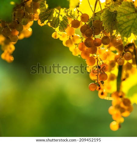 Ripe grapes on a vine with bright sun shining through the green grape leaves. Vineyard harvest season.