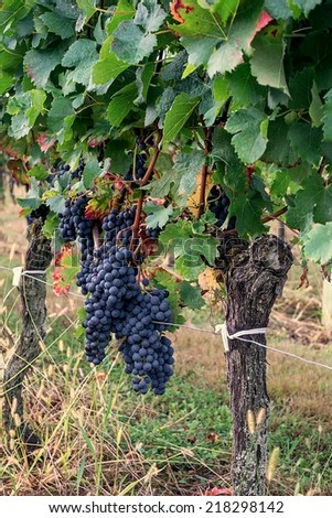 Ripe grapes on the vine ready to be harvested