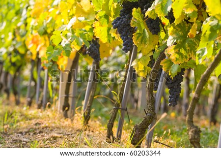 Ripe grapes with colorful leaves in vineyard in autumn ready for harvest. - stock photo