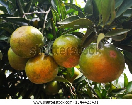Ripe green and Orange Tangerine oranges on the branch with leaves. Grow tangerines, the season of tangerines #1344423431