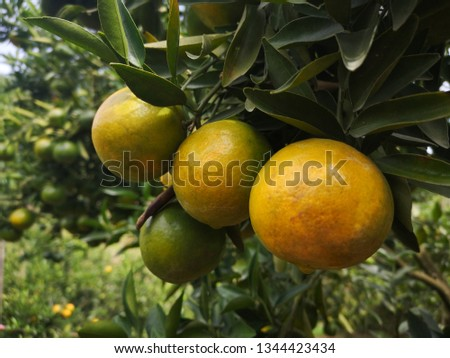 Ripe green and Orange Tangerine oranges on the branch with leaves. Grow tangerines, the season of tangerines #1344423434
