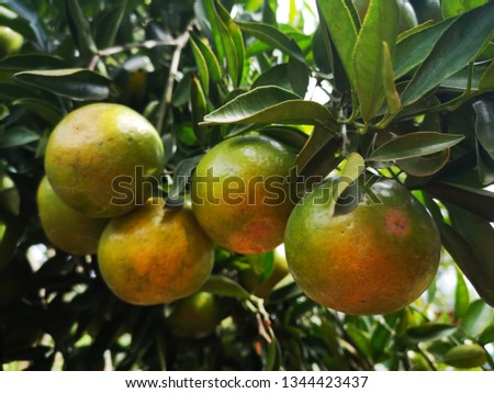 Ripe green and Orange Tangerine oranges on the branch with leaves. Grow tangerines, the season of tangerines #1344423437