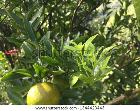 Ripe green and Orange Tangerine oranges on the branch with leaves. Grow tangerines, the season of tangerines #1344423443