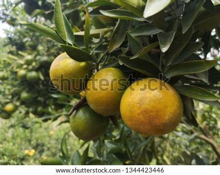 Ripe green and Orange Tangerine oranges on the branch with leaves. Grow tangerines, the season of tangerines #1344423446