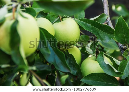 Ripe green apples on the tree close-up. Healthy fruits. Branch of an apple tree with ripe apples and green foliage. Apple variety Golden.