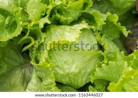 Ripe green crisp-head lettuce, top view.