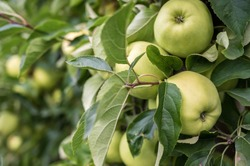 Ripe green Golden Delicious apples on a tree in a garden
