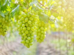 Ripe green grape in vineyard. Grapes green taste sweet growing natural. Green grape on the vine in garden