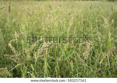 Ripe japanese barnyard millet(Echinochloa esculenta) field in autumn