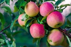 Ripe juicy apples of the Gala Mast variety on the branches of an apple tree, grown in an orchard, on the eve of harvest in September.