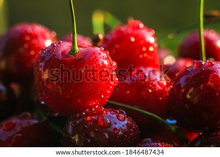Ripe juicy cherries are harvested only from the branches of the cherry tree. Water drops on fruit, cherry orchard after rain. Sun rays, warm lighting. Close-up. Sweet cherry background.