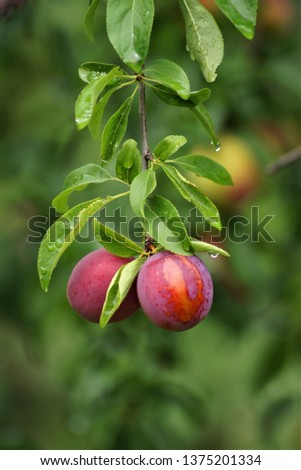 Ripe juicy ripe plums (cherry plum) hang on a branch with leaves in the summer in the garden #1375201334