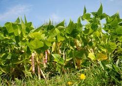 Ripe kidney bean growing on farm.Bush with bunch of podsof haricot plant (Phaseolus vulgaris var. nanus) ripening in homemade garden.Organic farming, healthy food, BIO viands, back to nature.