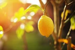 Ripe lemon hangs on tree branch in sunshine. Closeup, shallow DOF.
