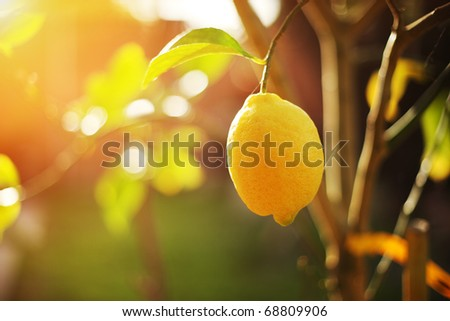 Ripe lemon hangs on tree branch in sunshine. Closeup, shallow DOF.