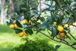 Ripe lemons on a lemon tree