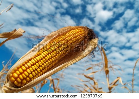ripe maize on a field under clouds