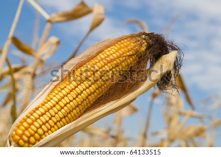 ripe maize with husk