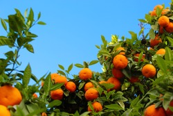 Ripe mandarin fruits with green leaves in between opposite the clear blue sky. Ripe fruits of mandarin - citrus. Faro, Portugal.