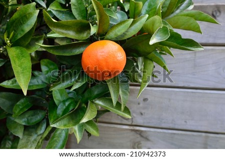 Ripe Mandarin orange hanging on citrus tree in home garden close up with copy space.