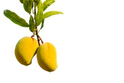 Ripe Mangoes Hanging from the Tree with copyspace - isolated on a white background.
