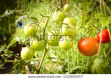Ripe, medium ripe and green unripe tomatoes growing in a greenhouse. Closeup shot. #1522832417