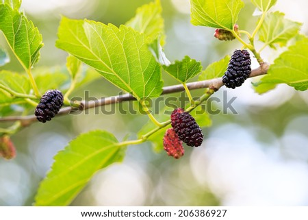 ripe mulberries in the green foliage