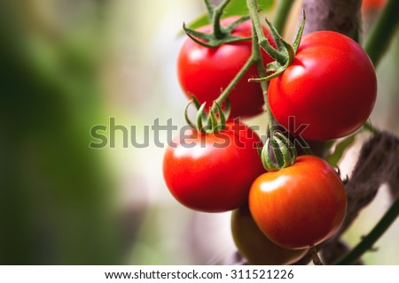 Ripe natural tomatoes growing on a branch in a greenhouse. Shallow depth of field #311521226
