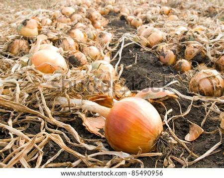Ripe onion on field.