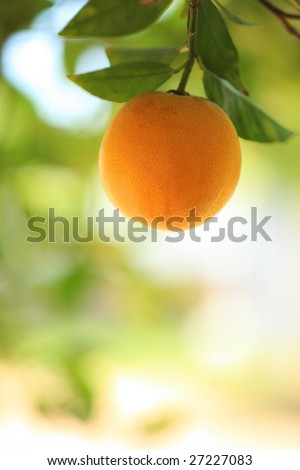 Ripe orange fruit on a tree. Close-up, shallow DOF.