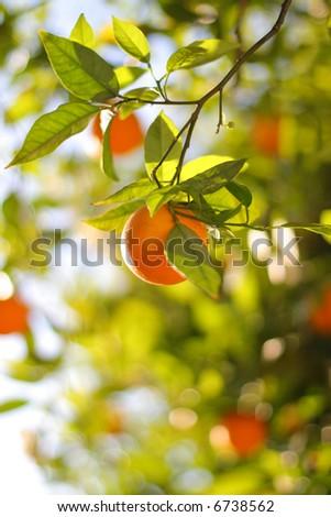 Ripe Orange On A Tree Close-Up. Shallow DOF.