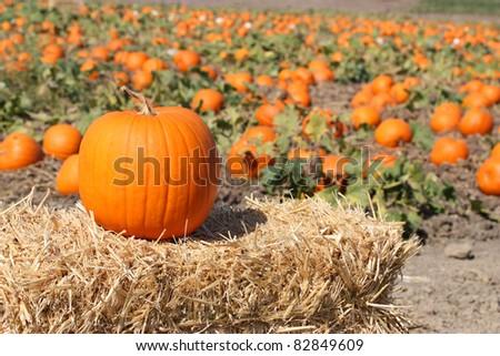 Ripe orange pumpkins on farm ground
