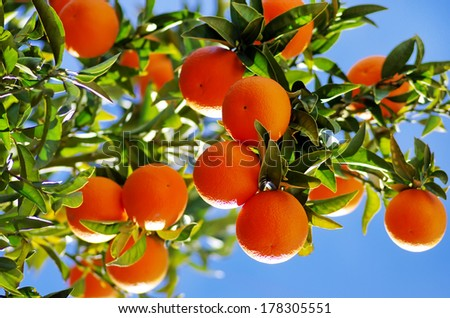 Ripe oranges on branch