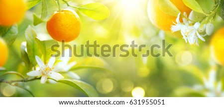 Ripe oranges or tangerines hanging on a tree. Beautiful Healthy organic juicy orange growing in Sunny Orchard. Organic citrus fruits #631955051