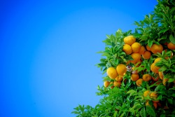 Ripe oranges. oranges on a tree