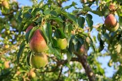 Ripe organic cultivar pears in the summer garden.