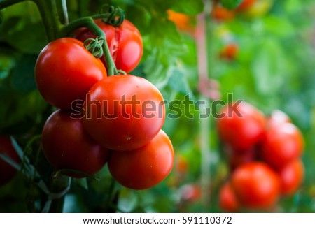 Ripe organic tomatoes in garden ready to harvest #591110372