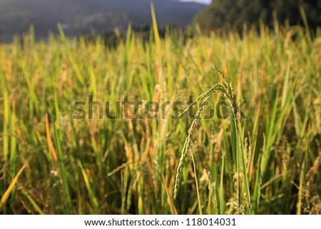 Ripe paddy rice at the field
