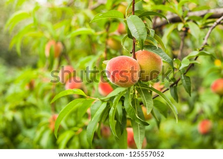 Ripe peaches fruits on a branch in orchard