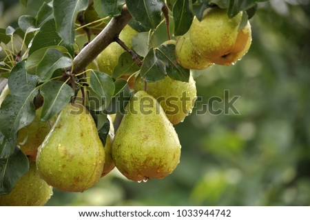 Ripe pears on a branch of a tree with green leaves Photo stock ©