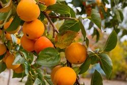 Ripe persimmon in the garden