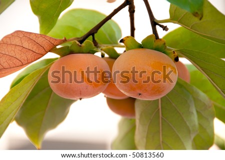 ripe persimmons on the branch