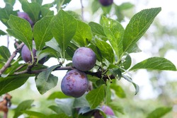 Ripe plums hanging from a tree branch ready to be harvested. Ripe plums on a tree branch in the orchard. View of fresh organic fruits with green leaves on plum tree branch in the fruit garden.