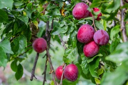 Ripe plums on a fruit tree in an organic garden. Plum is a fruit of the Prunus.
