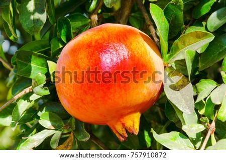 Ripe pomegranate fruit on tree branch - Shutterstock ID 757910872