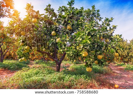 Ripe pomelo fruits hang on the trees in the citrus garden. Harvest of tropical pomelo in orchard Сток-фото ©