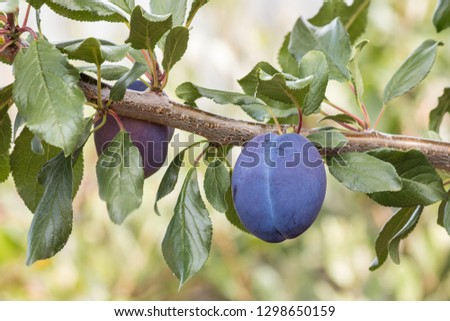 ripe prune plum on plum tree with copy space